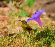 Female Sunbird Royalty Free Stock Photo