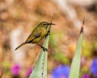 Female Sunbird Stock Photos