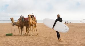 Female surfer and camels at the beach of Essaouira, Morocco, Africa. Female surfer holding surfboard and camels at the beach of Essaouira, Morocco, Africa Royalty Free Stock Images