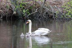 Female Swan Carries Chicks Piggyback Stock Images