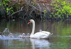 Female Swan Carries Chicks Piggyback Stock Photos