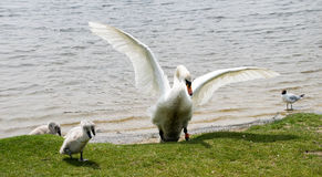 Female swan with cygnets. Swan with cygnets with wings outstretched and a seagull in the background Royalty Free Stock Photos