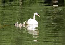Female swan and its youngs Royalty Free Stock Photography
