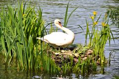 A female swan showing off her unhatched eggs Royalty Free Stock Images