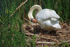 Swan Hatches Eggs Royalty Free Stock Images