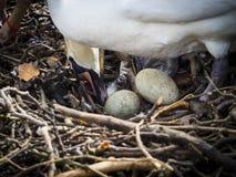 Female swan taking care of eggs Stock Image