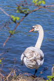 Female swan about to dive into the water of the Seine, Melun, France Royalty Free Stock Image