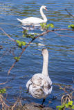Female swan about to dive into the water of the Seine, Melun, France Royalty Free Stock Photos
