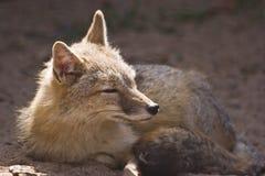 Female swift fox. Resting in the sunshine Stock Image