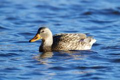 Female swimming Mallard Duck. A female mallard duck swimming on a pond and quacking Royalty Free Stock Photo