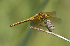 Female Sympetrum sanguineum Royalty Free Stock Photography