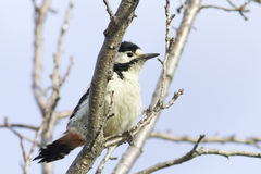 A female of Syrian Woodpecker / Dendrocopos syriacus Stock Photos