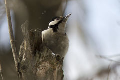 Female Syrian woodpecker sitting on a tree trunk. In the forest Stock Images