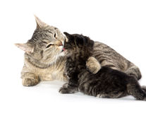 Female tabby cat and kitten Stock Image