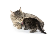 Female tabby cat and kitten Royalty Free Stock Photos
