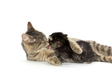 Female tabby cat and kitten Stock Photography