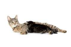 Female tabby cat and kitten Royalty Free Stock Images
