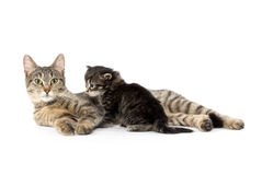 Female tabby cat and kitten Royalty Free Stock Image