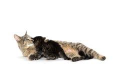 Female tabby cat and kitten Royalty Free Stock Photos