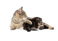 Female tabby cat and kitten Royalty Free Stock Photo