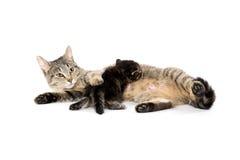 Female tabby cat and kitten Stock Image