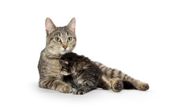 Female tabby cat and kitten Royalty Free Stock Photography