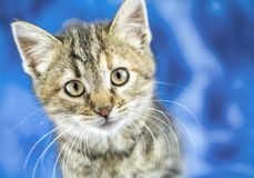 Tiger tabby kitten portrait close up royalty free stock photography
