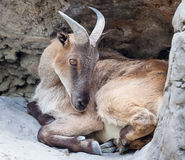 Female Tahr Curled up in a Hollow in the Rockface. Female Himalayan Tahr (Hemitragus jemlahicus) curled up  and grooming herself in a hollow in the rockface Royalty Free Stock Photo