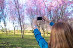 Female take photo of Spring cherry blossom. In garden Stock Photography