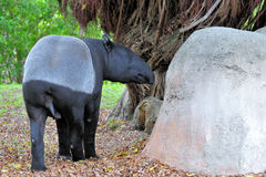 Female Tapir Royalty Free Stock Images