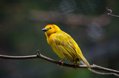 Female Taveta weaver bird. The Taveta Weaver (Ploceus castaneiceps) is a species of bird  found in Kenya and Tanzania. The name  also describes how these birds Royalty Free Stock Photography
