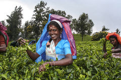 Female tea picker at harvest in the tea fields Stock Photo