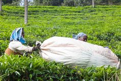 Female tea picker working in tea plantation in India. MUNNAR, INDIA - NOVEMBER 9, 2016: Indian women carrying bag with tea leaves at tea plantation. Only stock photo