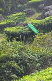 A Female Tea Plantation Worker plucking Tea Leaves in Estate - A Woman at Work Royalty Free Stock Image