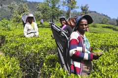 Female Tea Workers in Colorful Sri Lankan Field Stock Photography