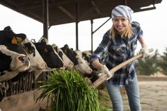 Female technician feeding cows with grass in livestock barn Royalty Free Stock Image