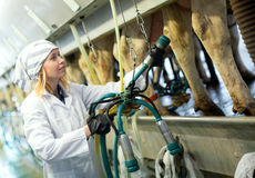Female technician working with milking machines Stock Image