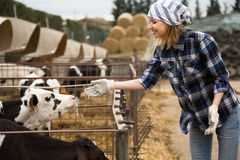 Female technician working with milky cows in cowhouse outdoors Stock Photos
