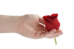 Female teen hand holding red rose flower head isolated Stock Photos
