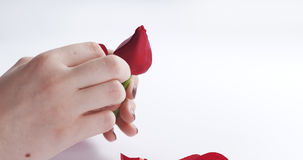 Female teen hand tearing red rose flower on white background Royalty Free Stock Photos