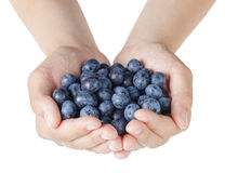 Female teen hands holding washed blueberries Stock Photography