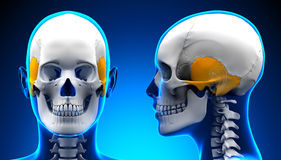 Female Temporal Bone Skull Anatomy - blue concept Royalty Free Stock Photography