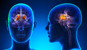 Female Thalamus Brain Anatomy - blue concept Royalty Free Stock Photography