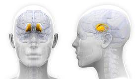 Female Thalamus Brain Anatomy - isolated on white Royalty Free Stock Images