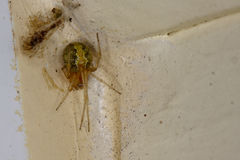 Female Theridion Spider with prey Stock Image