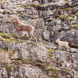 Female Thinhorn Sheep Ovis dalli stonei leading lamb Stock Photo