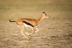 Female Thompson's Gazelle running, Amboseli, Kenya Stock Photos