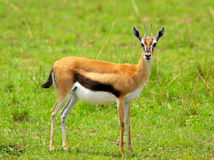 Female Thomson Gazelle. In  the Masai Mara Reserve (Kenya Royalty Free Stock Image