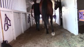 Leading a thoroughbred racing horse out of the barn stock video