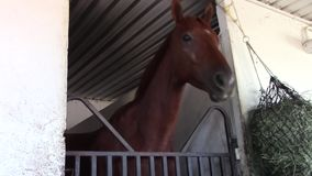 Funny thoroughbred racing horse stretches neck stock video